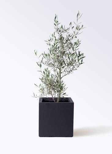 観葉植物 オリーブの木 8号 コラティーナ (コラチナ) ベータ キューブプランター 黒 付き