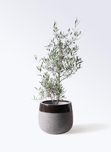 観葉植物 オリーブの木 8号 コラティーナ (コラチナ) ファイバーストーンタウルス 黒 付き