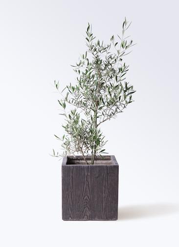 観葉植物 オリーブの木 8号 コラティーナ (コラチナ) ベータ キューブプランター ウッド 茶 付き
