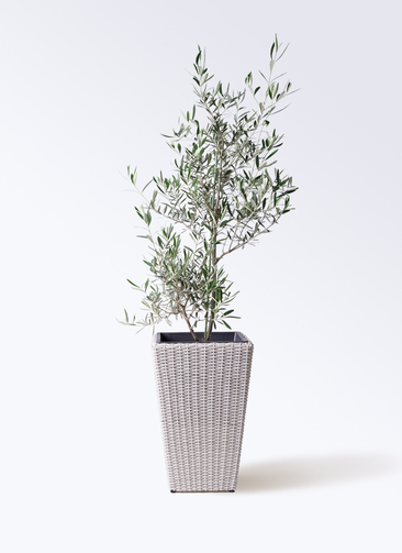 観葉植物 オリーブの木 8号 コラティーナ (コラチナ) ウィッカーポット スクエアロング OT 白 付き