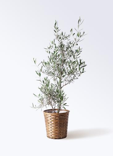 観葉植物 オリーブの木 8号 コラティーナ (コラチナ) 竹バスケット 付き