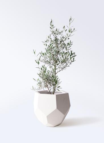 観葉植物 オリーブの木 8号 コラティーナ (コラチナ) ポリゴヘクサ 白 付き