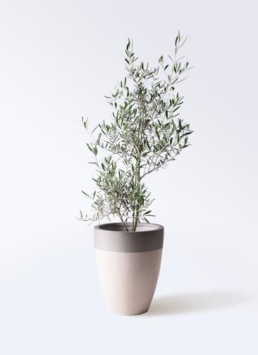観葉植物 オリーブの木 8号 コラティーナ (コラチナ) ファイバーストーンカプリ サンディホワイト 付き