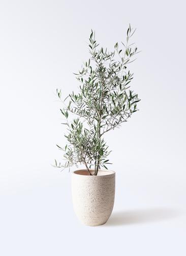 観葉植物 オリーブの木 8号 コラティーナ (コラチナ) ビアスアルトエッグ 白 付き