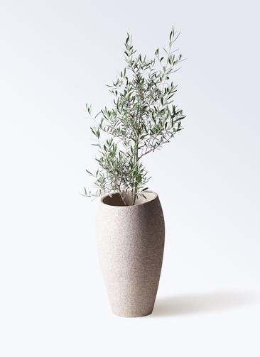 観葉植物 オリーブの木 8号 コラティーナ (コラチナ) エコストーントールタイプ Light Gray 付き