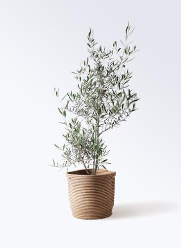観葉植物 オリーブの木 8号 コラティーナ (コラチナ) リブバスケットNatural 付き