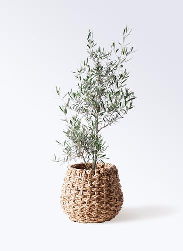 観葉植物 オリーブの木 8号 コラティーナ (コラチナ) ラッシュバスケット Natural 付き