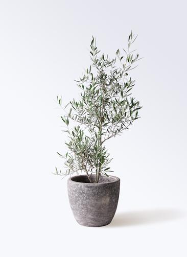 観葉植物 オリーブの木 8号 コラティーナ (コラチナ) アビスソニアミドル 灰 付き