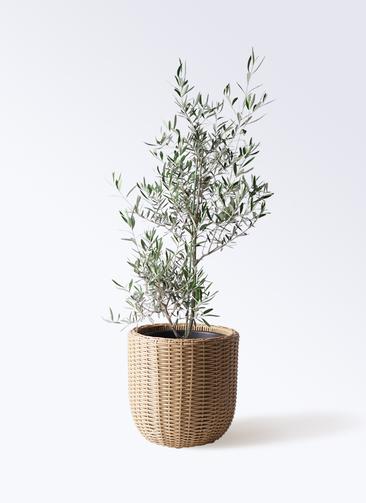 観葉植物 オリーブの木 8号 コラティーナ (コラチナ) ウィッカーポットエッグ ベージュ 付き