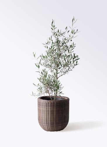 観葉植物 オリーブの木 8号 コラティーナ (コラチナ) ウィッカーポットエッグ 茶 付き