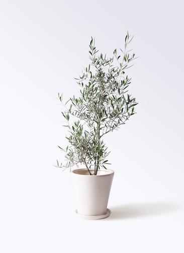 観葉植物 オリーブの木 8号 コラティーナ (コラチナ) サブリナ 白 付き