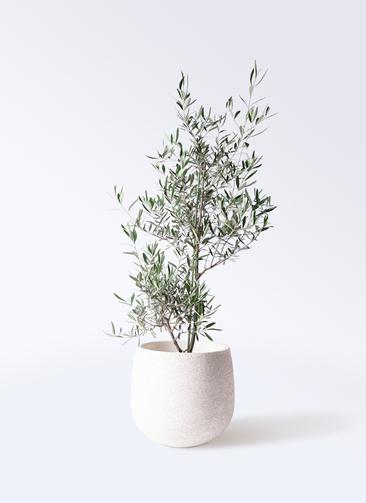 観葉植物 オリーブの木 8号 コラティーナ (コラチナ) エコストーンwhite 付き