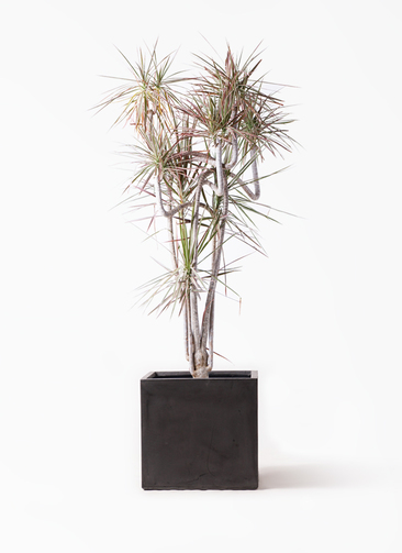 観葉植物 ドラセナ コンシンネ レインボー 10号 曲り ファイバークレイ キューブ 付き