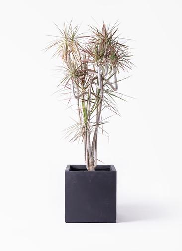 観葉植物 ドラセナ コンシンネ レインボー 10号 曲り ベータ キューブプランター 黒 付き