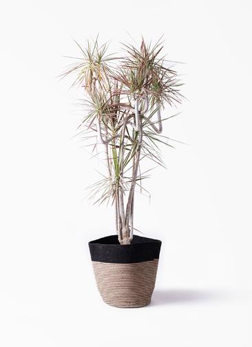 観葉植物 ドラセナ コンシンネ レインボー 10号 曲り リブバスケットNatural and Black 付き