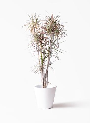 観葉植物 ドラセナ コンシンネ レインボー 10号 曲り フォリオソリッド 白 付き
