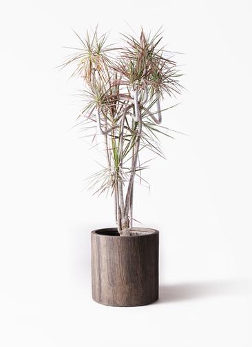 観葉植物 ドラセナ コンシンネ レインボー 10号 曲り アルファシリンダープランター 付き