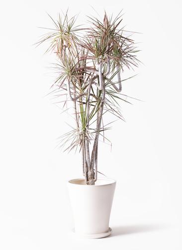 観葉植物 ドラセナ コンシンネ レインボー 10号 曲り サブリナ 白 付き