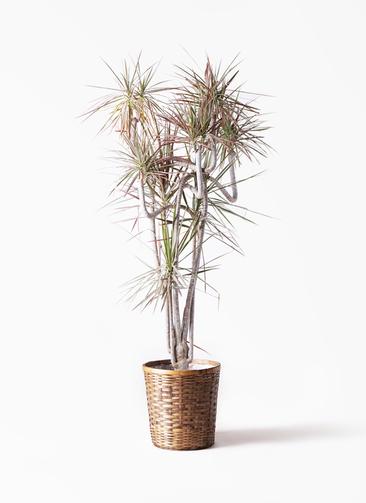 観葉植物 ドラセナ コンシンネ レインボー 10号 曲り 竹バスケット 付き
