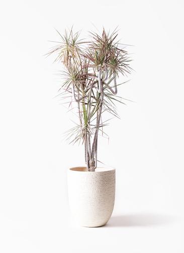 観葉植物 ドラセナ コンシンネ レインボー 10号 曲り ビアスアルトエッグ 白 付き