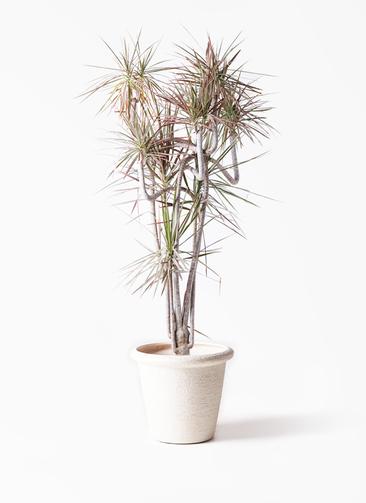 観葉植物 ドラセナ コンシンネ レインボー 10号 曲り ビアスリムス 白 付き