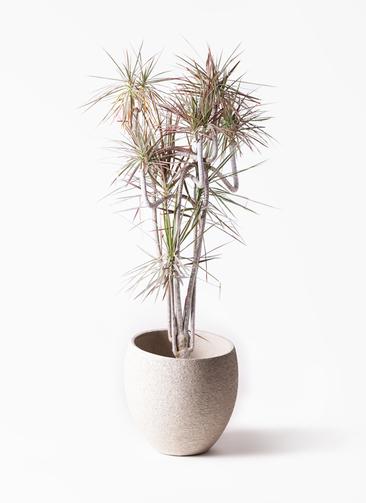 観葉植物 ドラセナ コンシンネ レインボー 10号 曲り エコストーンLight Gray 付き