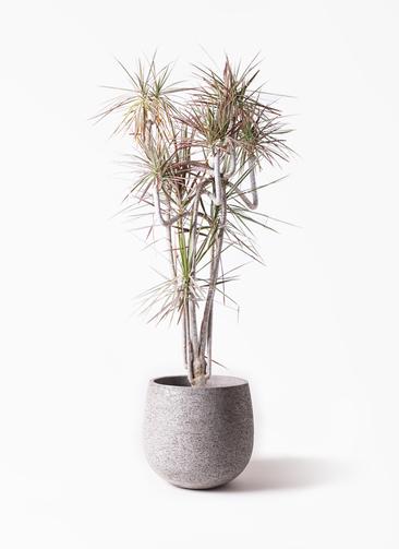 観葉植物 ドラセナ コンシンネ レインボー 10号 曲り エコストーンGray 付き