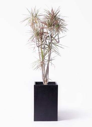 観葉植物 ドラセナ コンシンネ レインボー 10号 曲り セドナロング 墨 付き