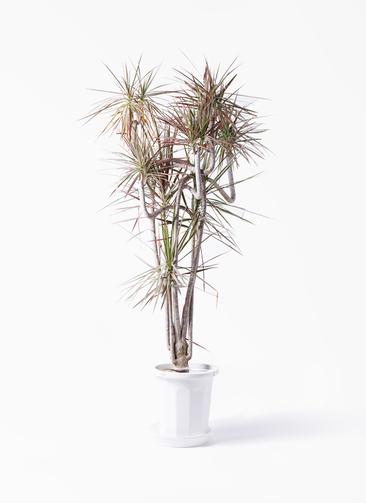 観葉植物 ドラセナ コンシンネ レインボー 10号 曲り プラスチック鉢