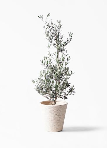 観葉植物 オリーブの木 8号 ピクアル ビアスソリッド 白 付き