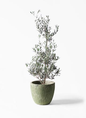 観葉植物 オリーブの木 8号 ピクアル アビスソニアミドル 緑 付き