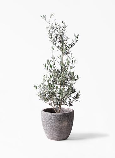 観葉植物 オリーブの木 8号 ピクアル アビスソニアミドル 灰 付き