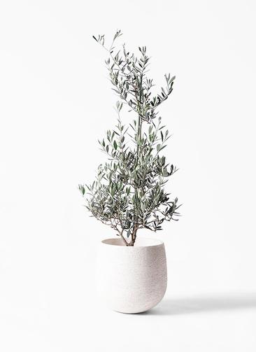 観葉植物 オリーブの木 8号 ピクアル エコストーンwhite 付き
