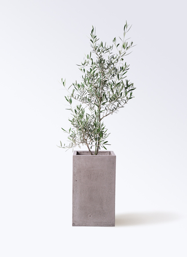 観葉植物 オリーブの木 8号 コラティーナ (コラチナ) セドナロング グレイ 付き