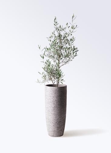 観葉植物 オリーブの木 8号 コラティーナ (コラチナ) エコストーントールタイプ Gray 付き