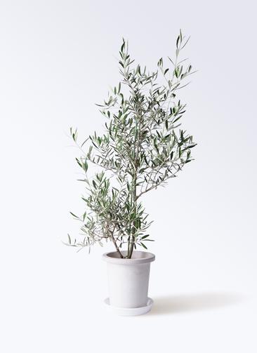 観葉植物 オリーブの木 8号 コラティーナ (コラチナ) プラスチック鉢