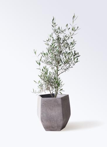 観葉植物 オリーブの木 8号 コラティーナ (コラチナ) ファイバークレイ Gray 付き