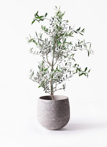 観葉植物 オリーブの木 8号 コレッジョラ エコストーンGray 付き