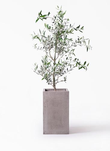 観葉植物 オリーブの木 8号 コレッジョラ セドナロング グレイ 付き