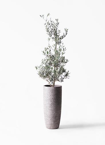 観葉植物 オリーブの木 8号 ピクアル エコストーントールタイプ Gray 付き