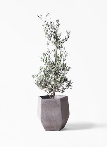 観葉植物 オリーブの木 8号 ピクアル ファイバークレイ Gray 付き