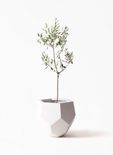 観葉植物 オリーブの木 8号 カラマタ ポリゴヘクサ 白 付き