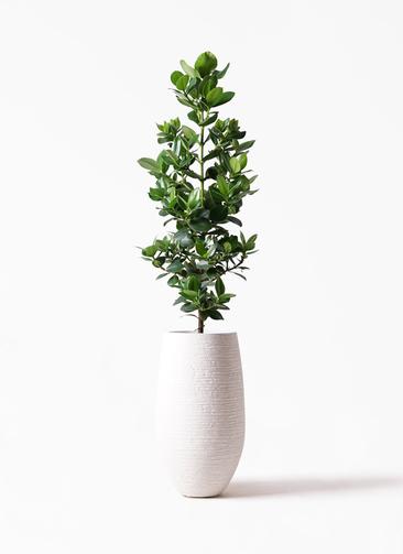 観葉植物 クルシア ロゼア プリンセス 8号 フォンティーヌトール 白 付き