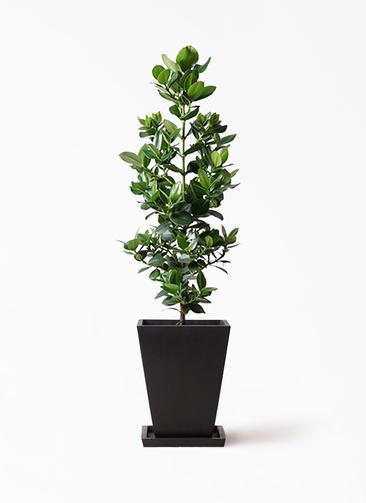 観葉植物 クルシア ロゼア プリンセス 8号 パウダーストーン 黒 付き