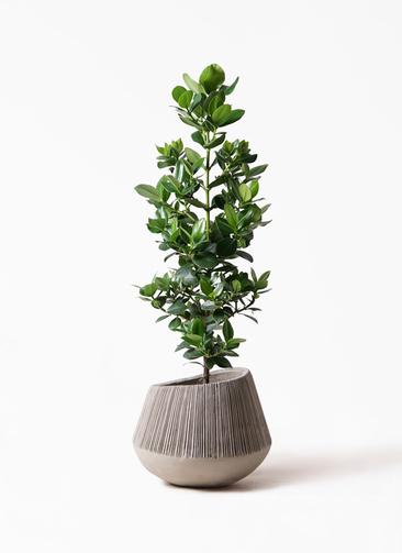 観葉植物 クルシア ロゼア プリンセス 8号 エディラウンド グレイ 付き