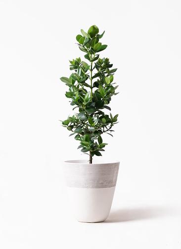 観葉植物 クルシア ロゼア プリンセス 8号 ジュピター 白 付き
