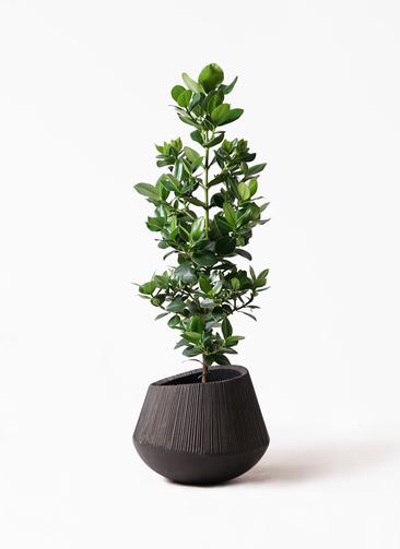 観葉植物 クルシア ロゼア プリンセス 8号 エディラウンド 黒 付き