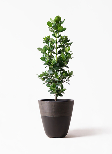 観葉植物 クルシア ロゼア プリンセス 8号 ジュピター 黒 付き