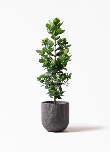 観葉植物 クルシア ロゼア プリンセス 8号 カルディナダークグレイ 付き