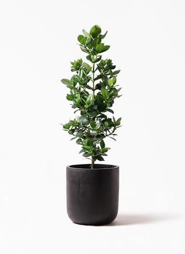 観葉植物 クルシア ロゼア プリンセス 8号 エルバ 黒 付き